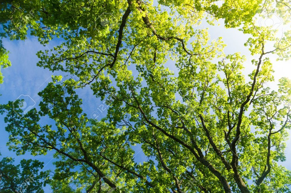 Trees - LA 44292237-oak-tree-crown-from-below-against-blue-sky-with-sunflare.jpg