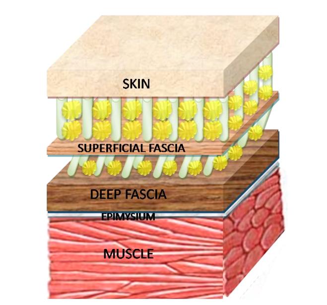Fascia_Structure.png