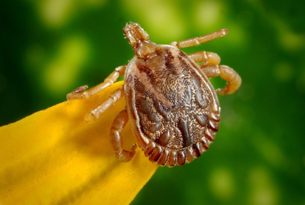 arachnid-bloodsucker-bug-45850.jpg