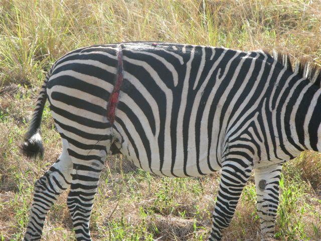 ZebraSnared.jpg