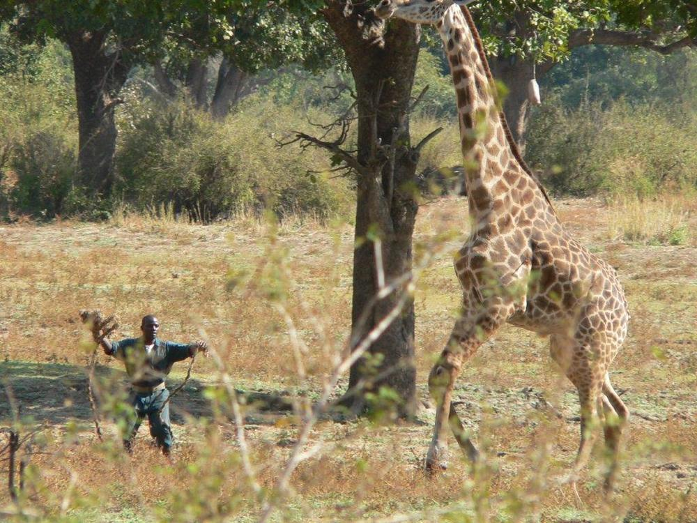Giraffe capture July 2008 025.jpg