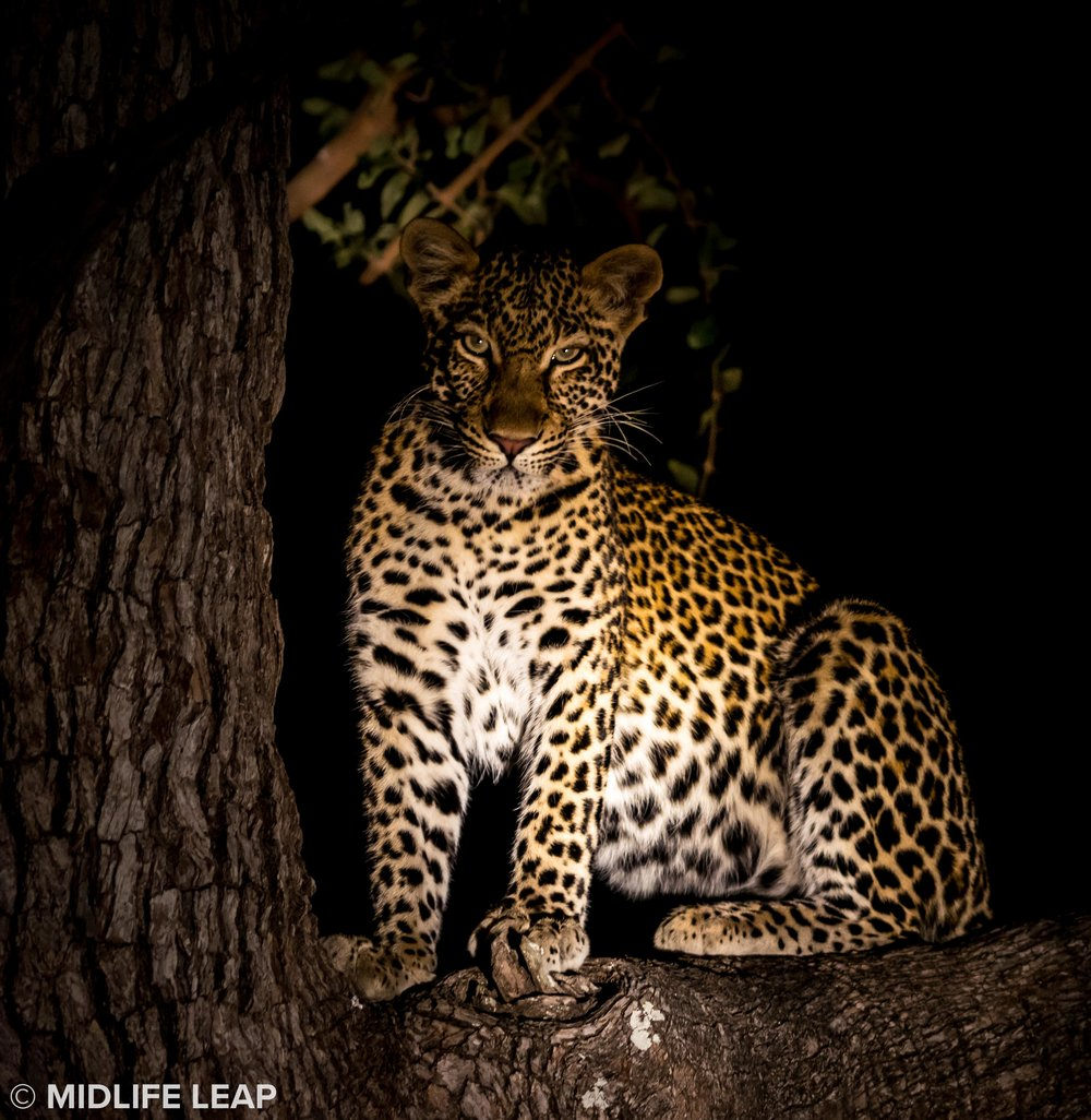 A beautiful leopard
