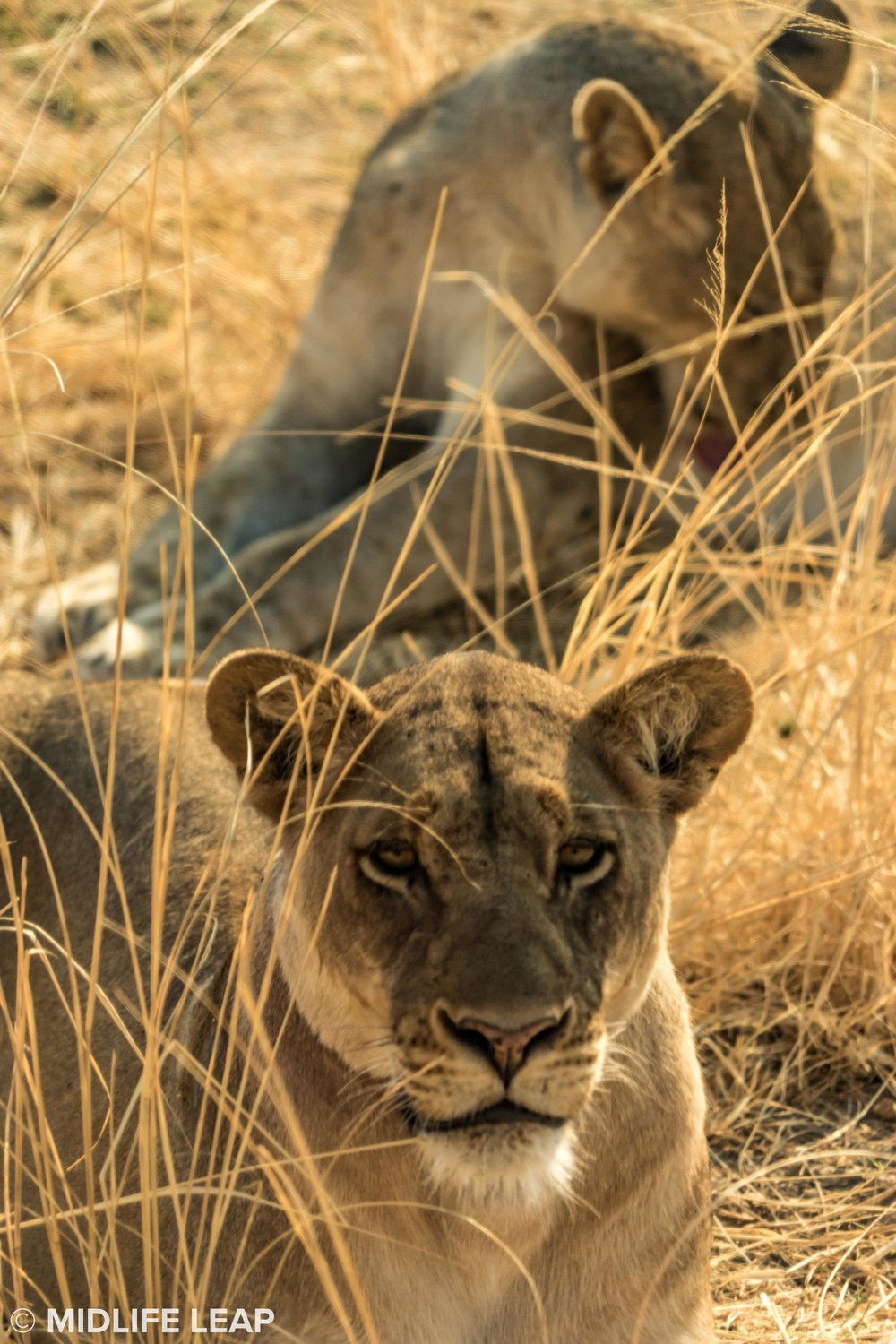 safari-in-zambia-remote-africa-safaris-midlife-leap-tafika-lion-in-south-luangwa