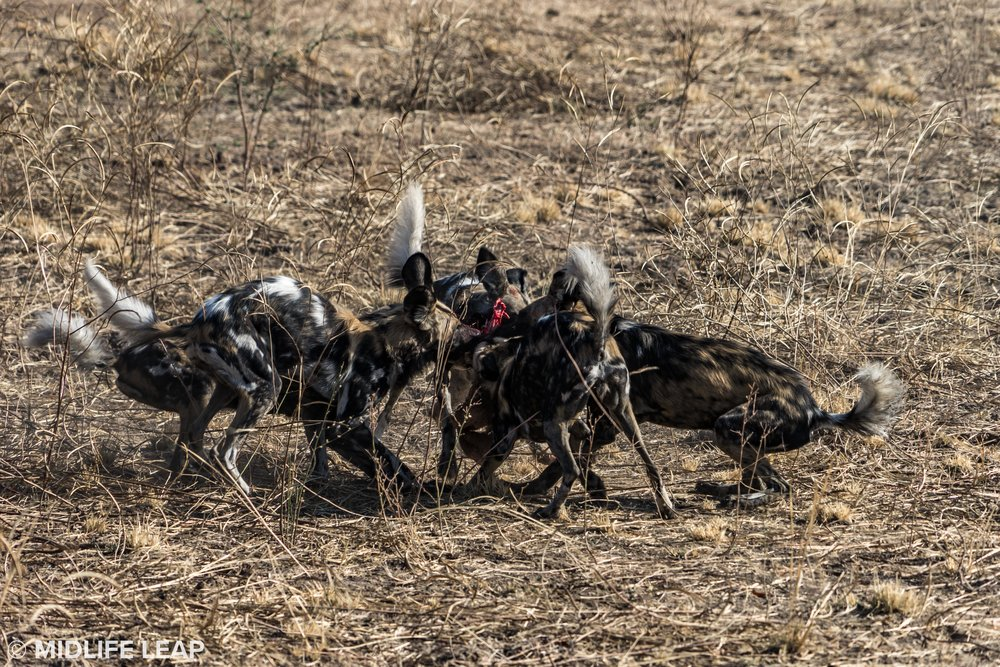 The rare wild dogs during a kill (a baby puku)
