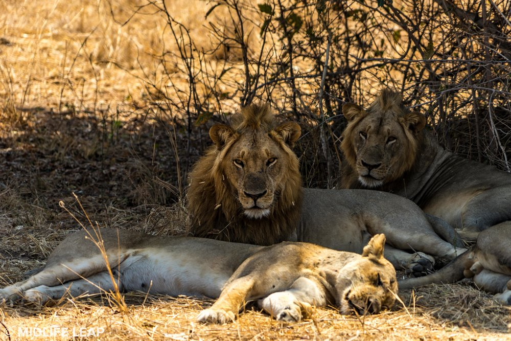 mwaleshi-north-luangwa-walking-safari-lions.jpg