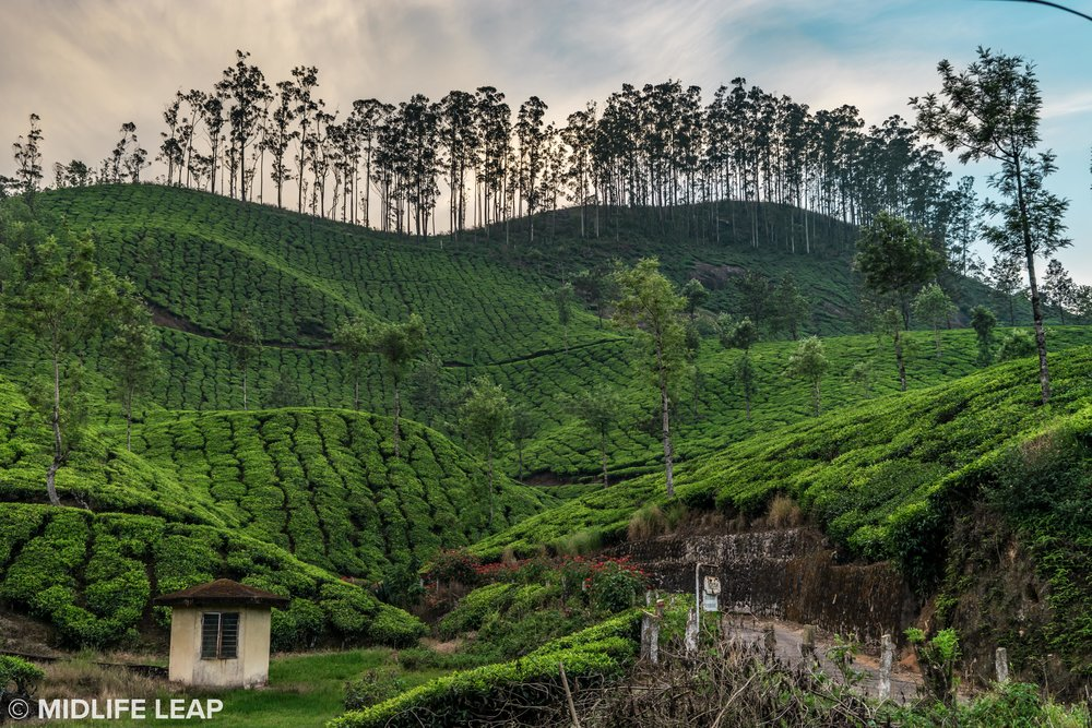 visiting-munnar-kerela-tea-country