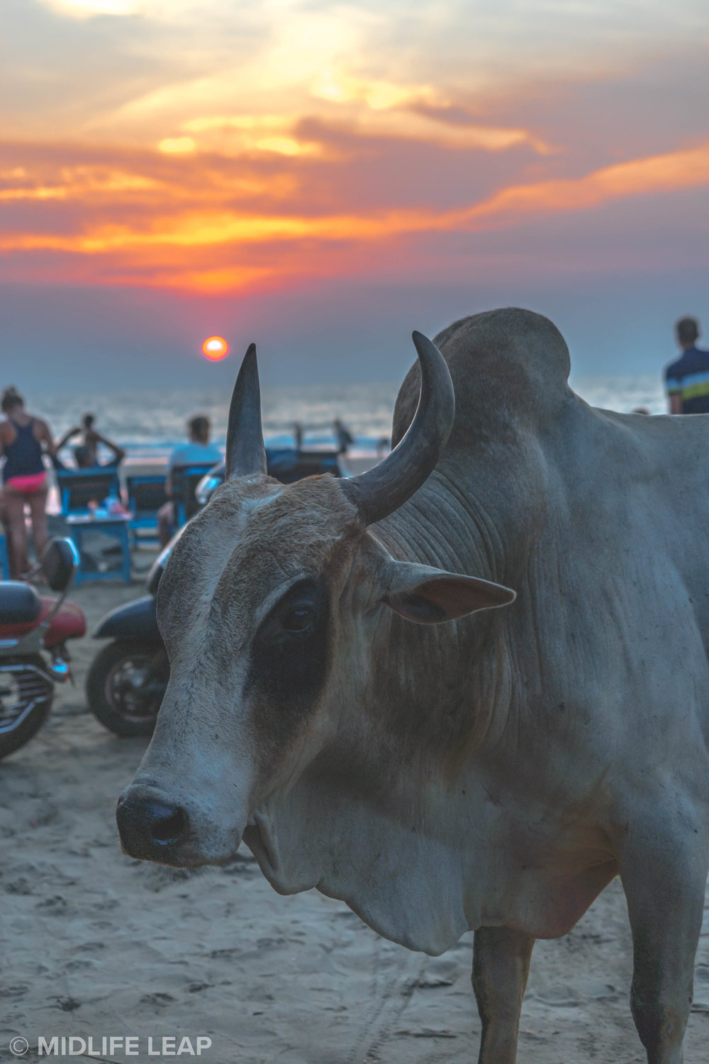 cows-on-vagator-beach-north-goa