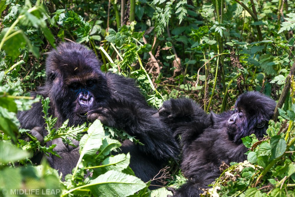 how-to-pick-the-best-country-for-a-gorilla-trek