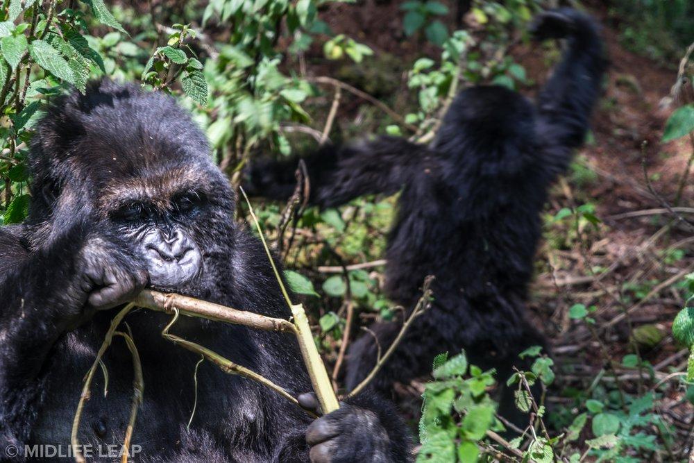 what-to-expect-on-a-gorilla-trek-in-rwanda