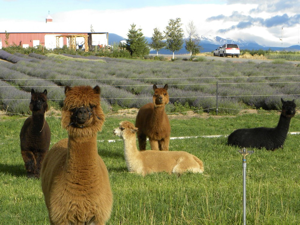 "Ariel, (the alpaca) says...""Come to our Lavender Festival this weekend!"""