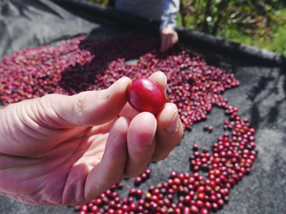 Coffee pickers at Finca Dos Jefes wear deep red reference bracelets to ensure only the sweetest cherries are harvested. Quality control.
