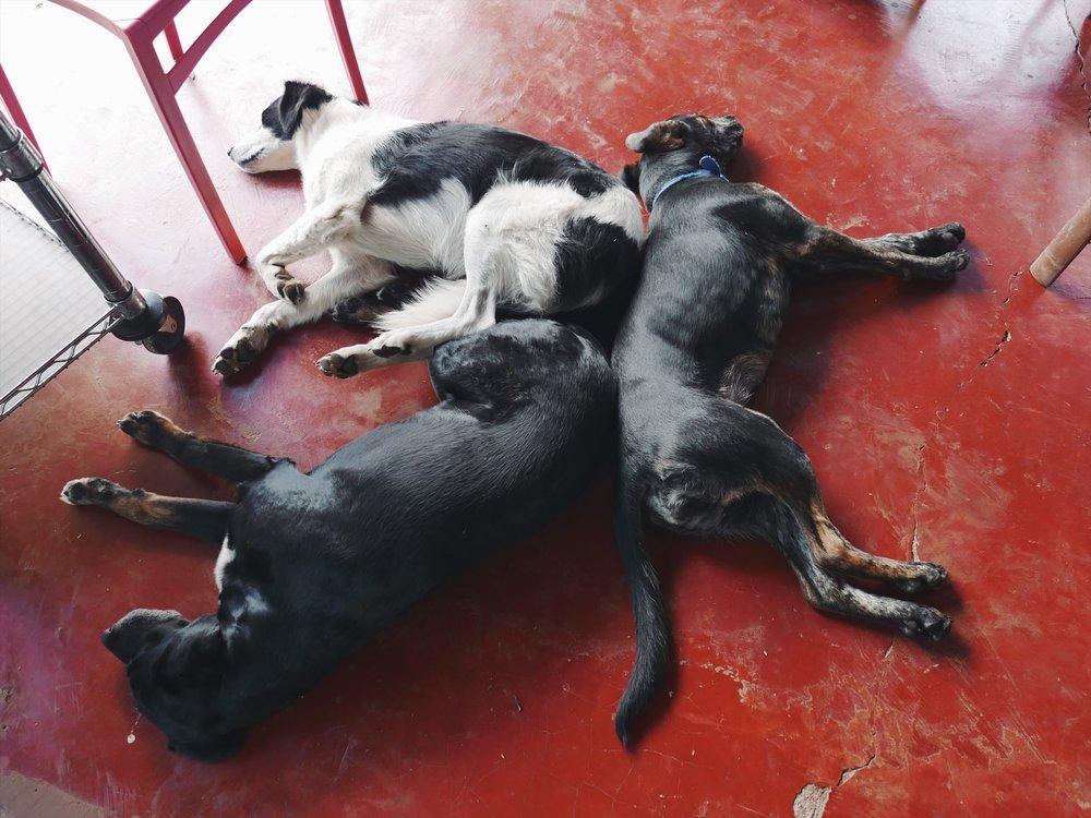 Dog days on the coffee farm.