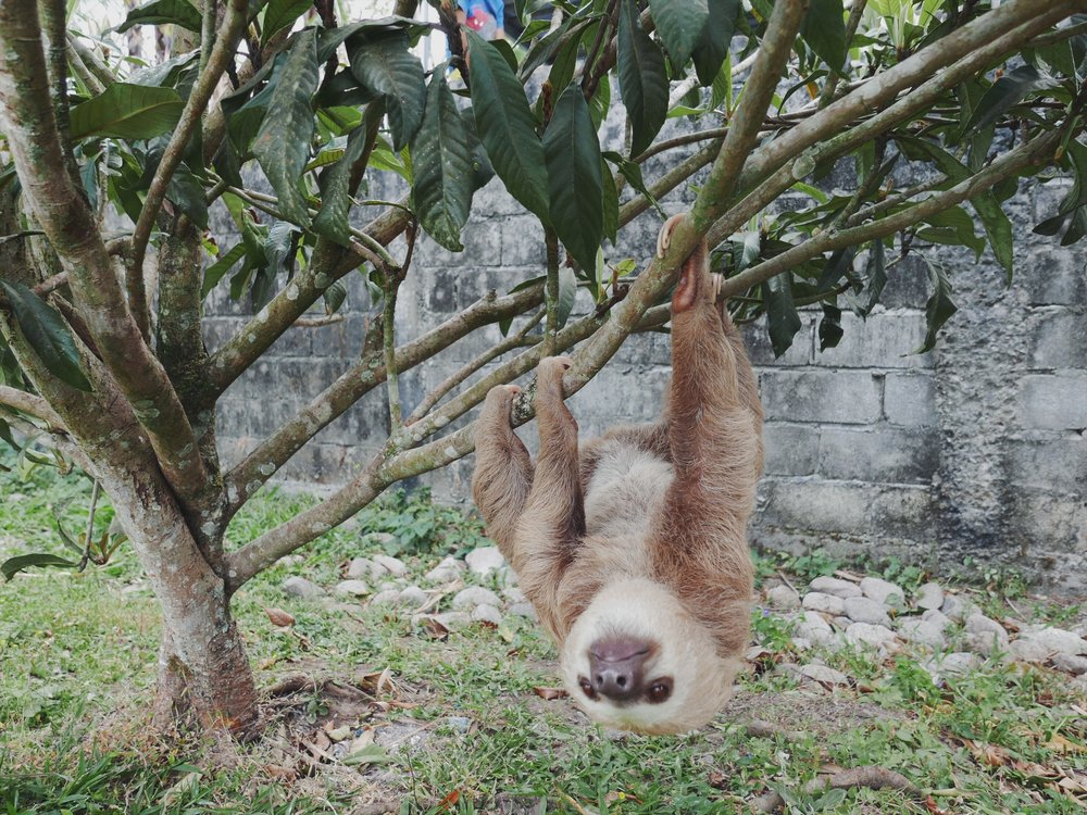 Contrary to our near-non-existent sloth knowledge, these fellas are always on the move. Albeit slowly.