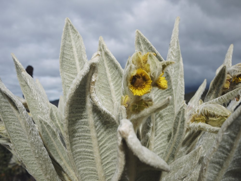 The velvet leaves of the frailejon are perfectly evolved to capture the moisture in the clouds that constantly blow through the high-altitude paramo. Sort of like eyebrows on a bicycle ride, say.