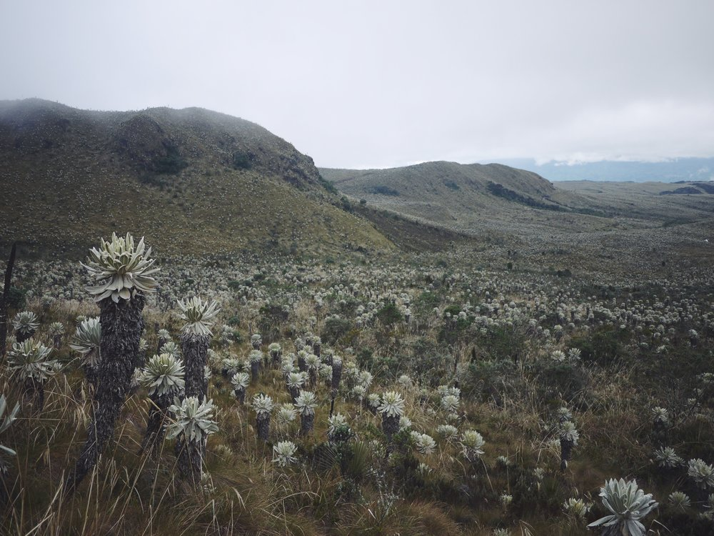 The bizarre Frailejones of El Angel Ecological Reserve.