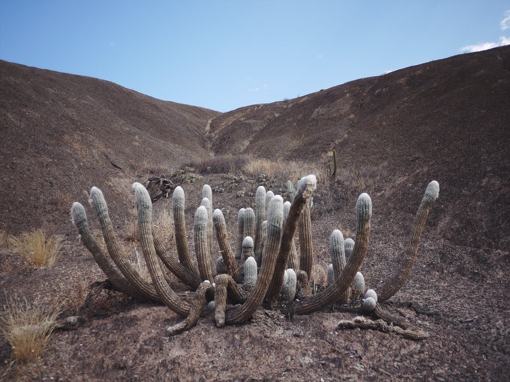 "From the internet: ""  Espostoa lanata   (= Woolish Espostoa) is a species of cacti of the genus Espostoa. Its common names are : Peruvian old man cactus, cotton ball cactus, snowball cactus, snowball old man."" So, yeah Old Peruvian Man Ball Cactus."