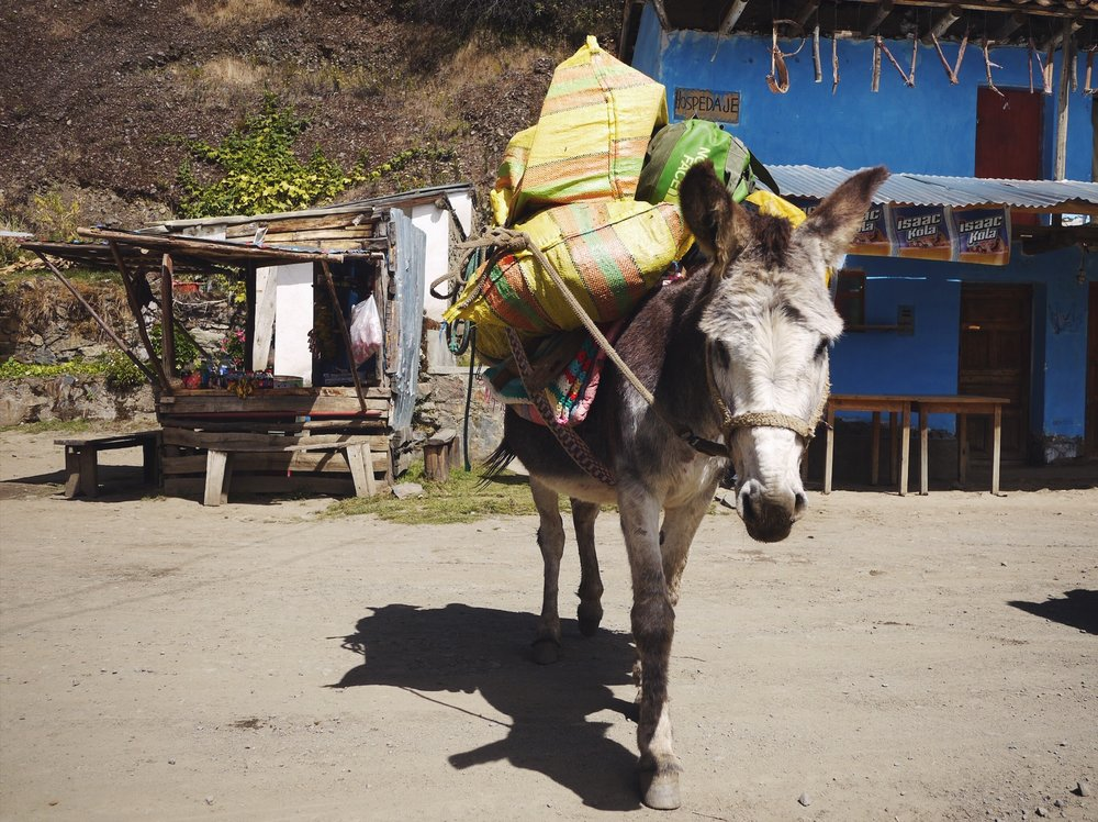 Burros help with treks in the Cordillera Blanca. Their indifference to schlepping serious weight around is an inspiration.