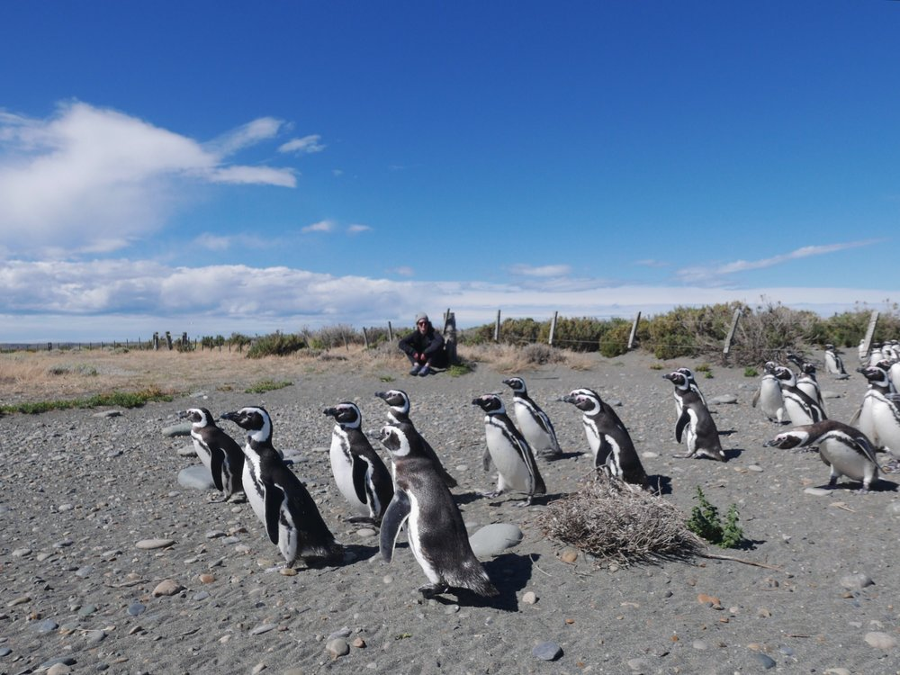 There are a few sandy superhighways connecting the beach to the penguins' nests. They wander/waddle these routes in order to feed in the ocean before returning to share their catch with the kiddos. If you're patient, they'll happily go about their commute like any other day.