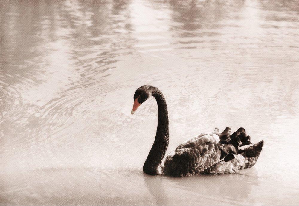 fooork+blackswan