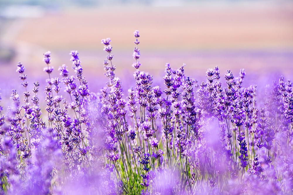 lavender_field-1_1024x1024.jpg