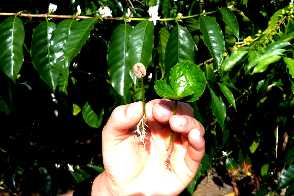 Coffee seed and sprout held by Kona Coffee and Tea Farmer