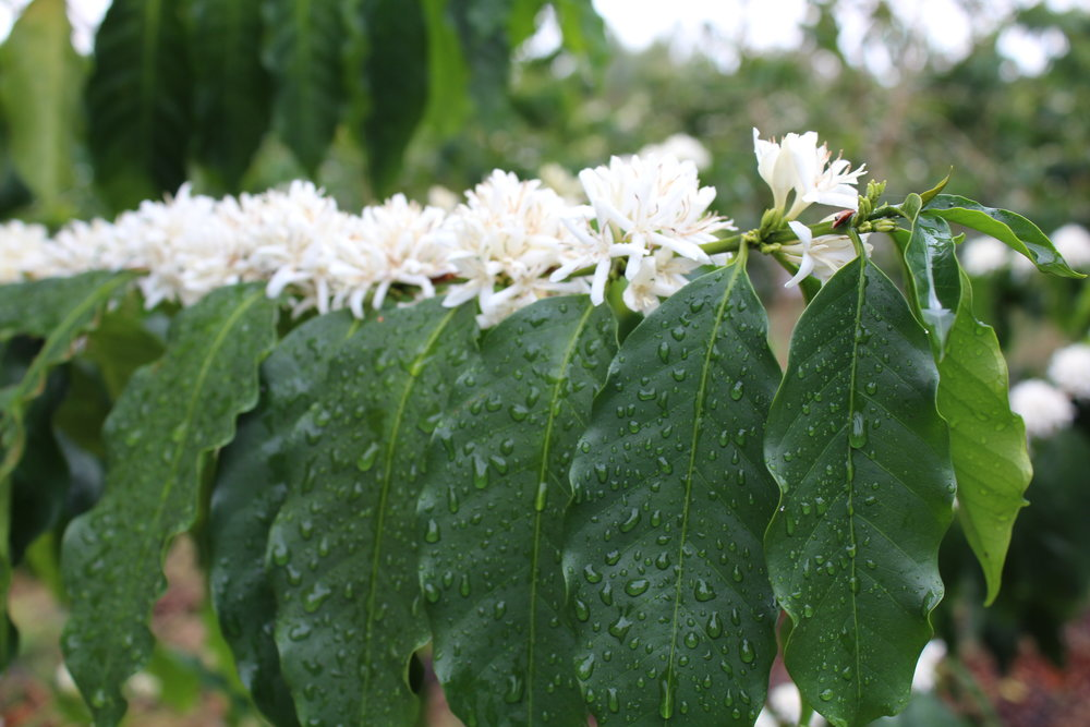 The afternoon rain on a blossoming Kona Coffee tree   PHOTO: Dayva Keolanui