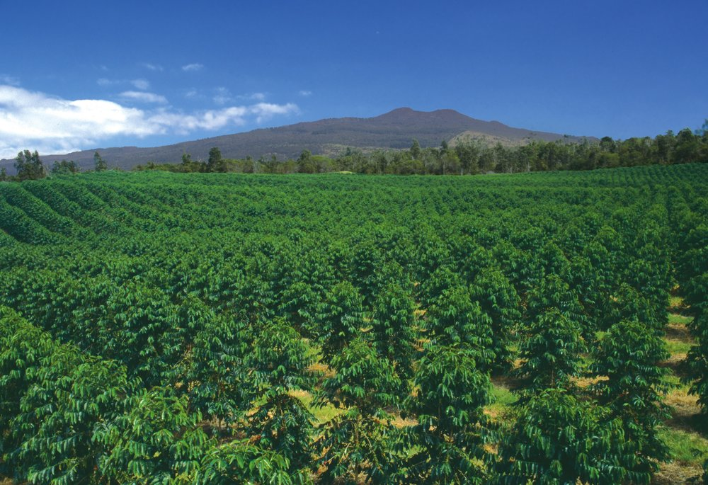 Our Farm in Holualoa, Kona., on the slopes of Hualalai.  PHOTO: Kona Coffee & Tea Company
