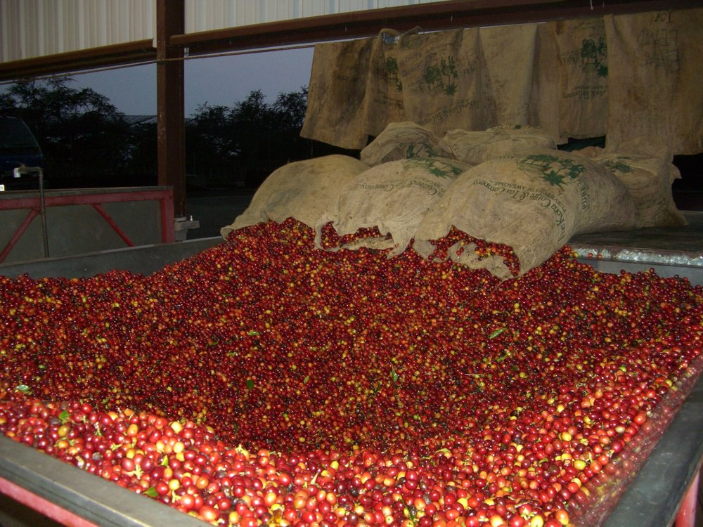 Picked Coffee Cherry about to be wet milled. PHOTO: Jan Bolton