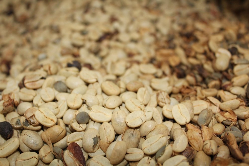 Dried coffee beans with their parchment still on.  PHOTO: Kona Coffee & Tea Company
