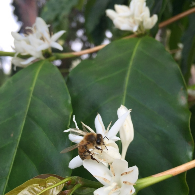 A bee gathering nectar from a Kona coffee flower.  PHOTO: Malia Bolton