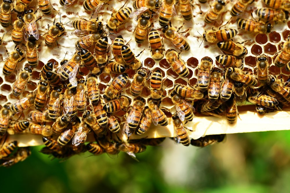 Busy bees on their honeycomb.