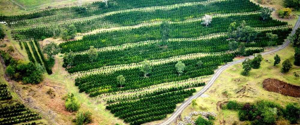 "The Kona Coffee & Tea Company farm at ""Waiono Meadows"" in Holualoa, Kona., on the slopes of Hualalai."