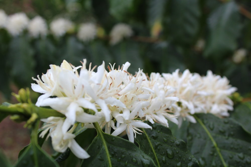 "Kona Coffee flowers a.k.a. ""Kona Snow"" are pollinated by bees in the spring to make ripe coffee cherry by August.  PHOTO: Dayva Keolanui"