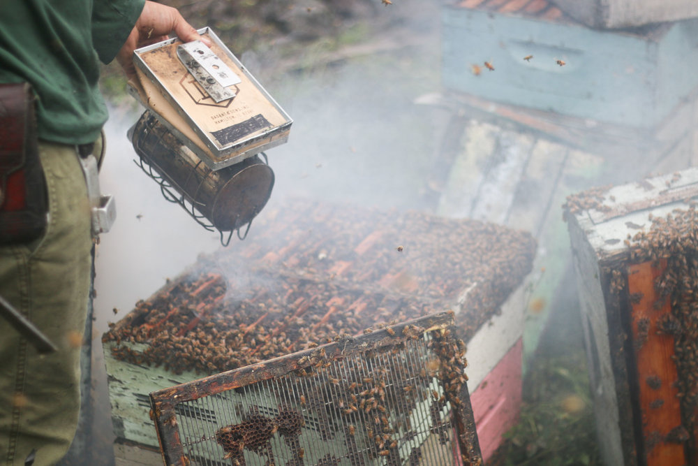 Smoke is used to subdue and remove the bees from the honey comb for honey harvest.   PHOTO: Chance Punahele Photography