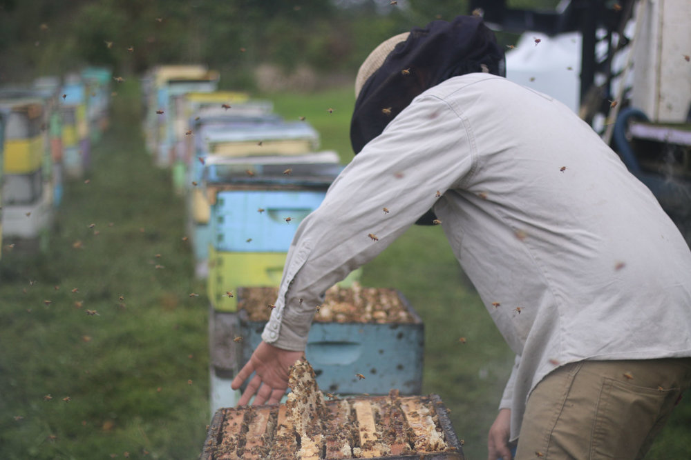 This barehanded beekeeper is pretty brave.  PHOTO: Chance Punahele Photography