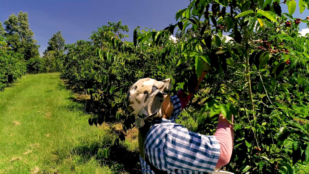 Picking Kona coffee on the farm. PHOTO: Farish Media