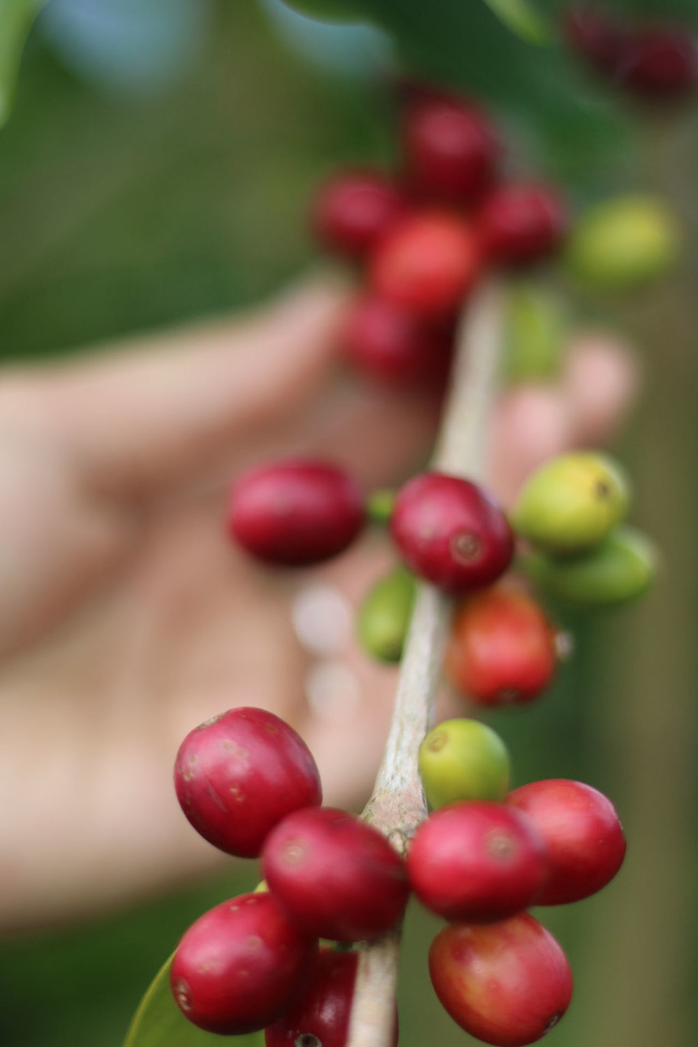 Arabica Typica coffee cherry being picked on our farm in Kona. PHOTO: Chance Ortiz