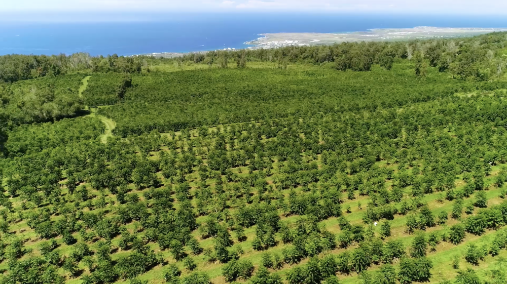 Aireal shot of the Kona Coffee & Tea Farm in Holualoa, looking towards Kailua-Kona. PHOTO: Farish Media