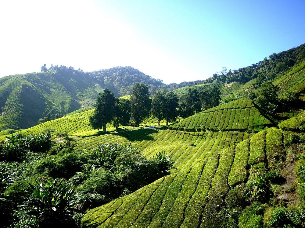 tea-plantation-261515.jpg