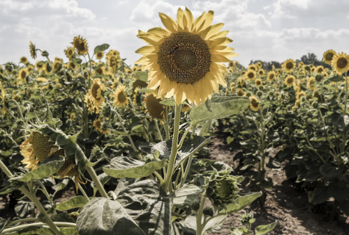 sunflower field, summer, garden, flowers