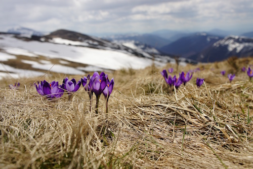 spring, blooming, crocus