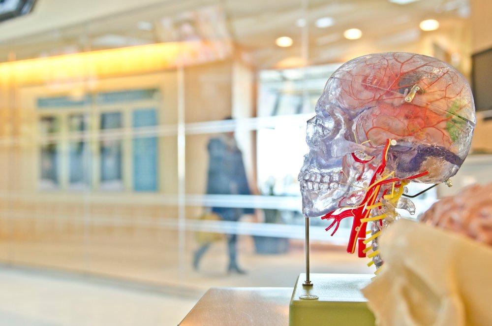 Human skeleton replica, displaying nervous system