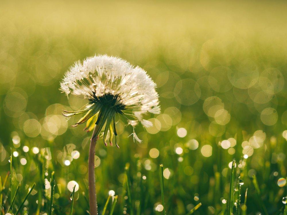 dandelion in dewey grass, field