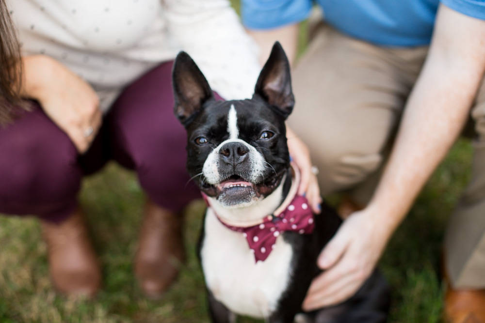 Adorable Boston Terrier during photo shoot in Northern Virginia | Northern Virginia Dog Photographer