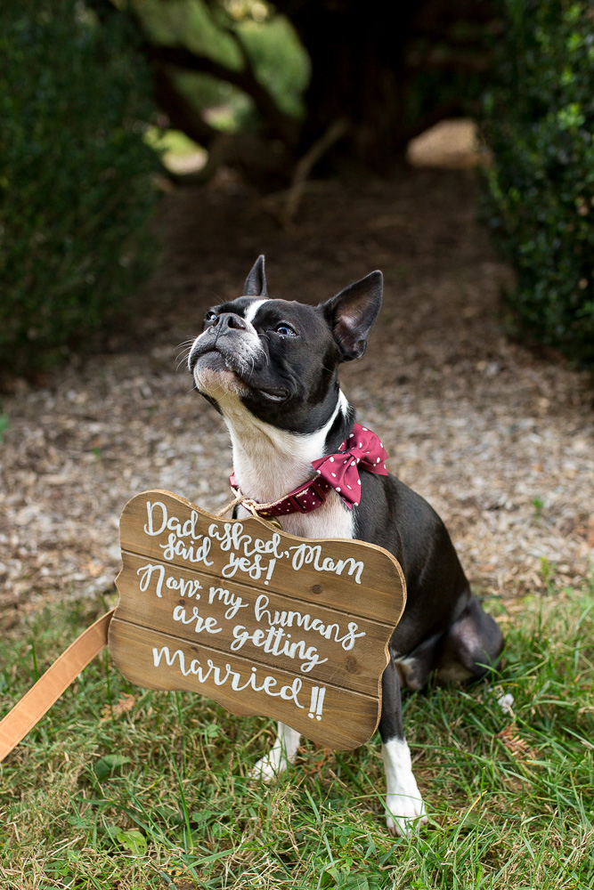 "Dog with ""My humans are getting married"" sign during engagement pictures in Northern Virginia"