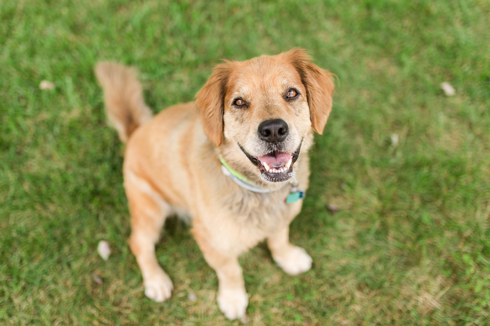 golden-retriever-dog-photography-2.jpg