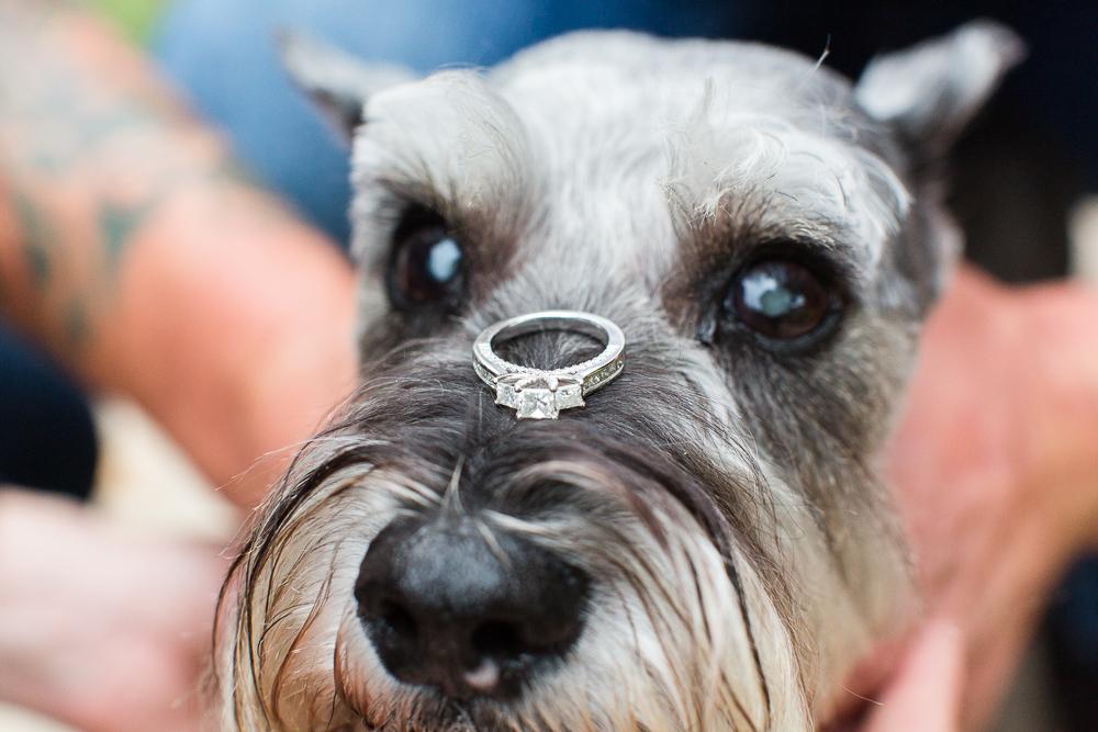 Engagement ring balanced on dog's snout | Miniature schnauzer engagement picture ideas