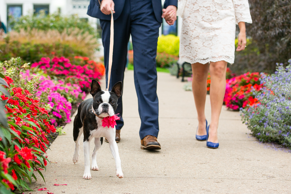 Boston Terrier dressed up with a cute pink bow for engagement pictures at the botanical gardens | Buffalo NY Dog Photographer