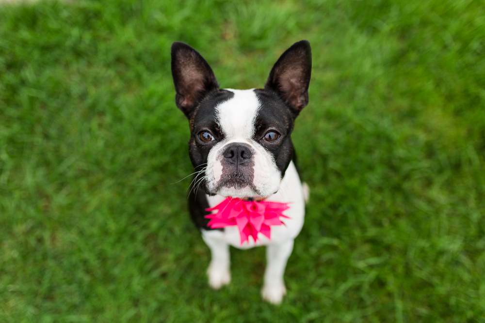Adorable Boston Terrier sitting in the grass and looking straight at the camera | Buffalo Dog Photographer