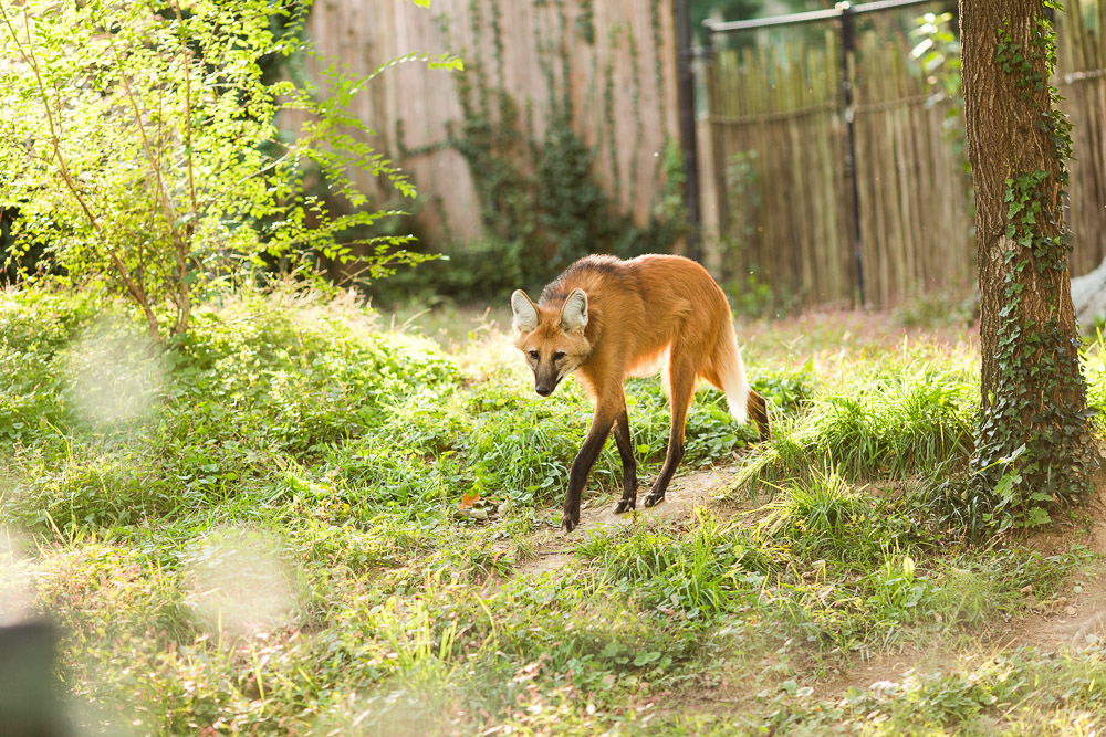 Maned wolf walking through it's enclosure at the zoo | Washington DC National Zoo